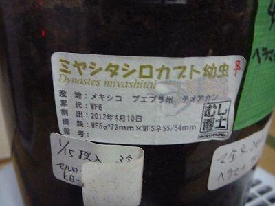 ミヤシタシロカブト (1)