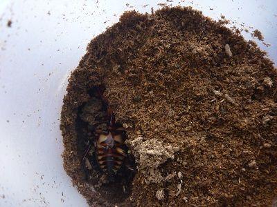 ファブリースとタラ838×547幼虫 (1)