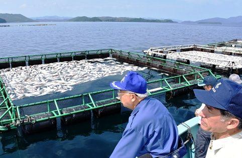 【鰤】赤潮被害でブリ10万匹死ぬ 鹿児島県長島町 : 俺の嗜み
