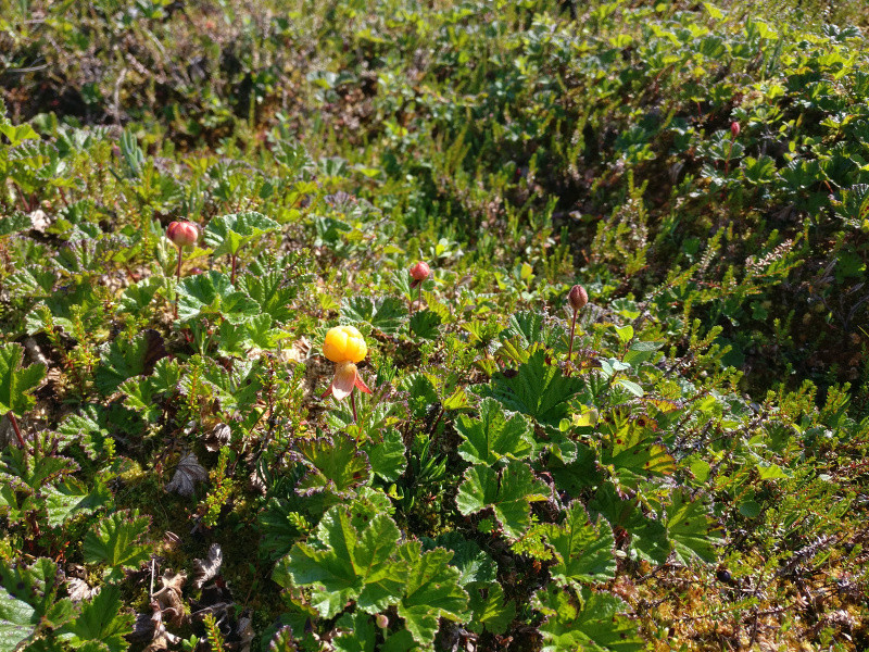 cloudberry2_swamp_800px