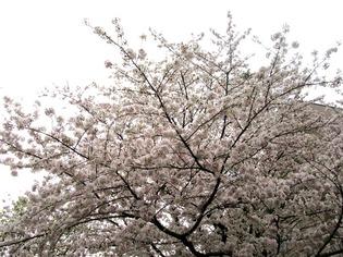 ブログ用 桜02