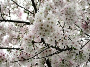 ブログ用 桜03
