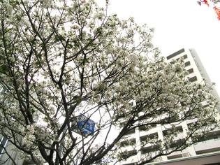 ブログ用 桜01