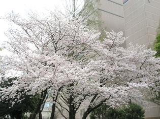 ブログ用 桜04