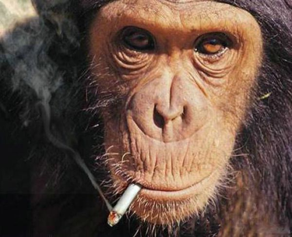 煙草を吸うチンパンジー