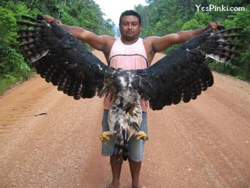 harpy-eagle-images