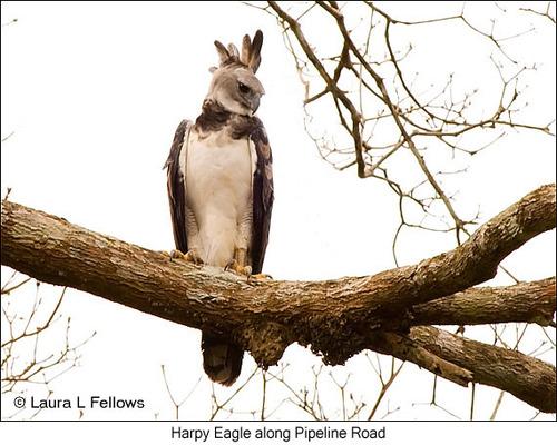 harpy-eagle-003-gallery