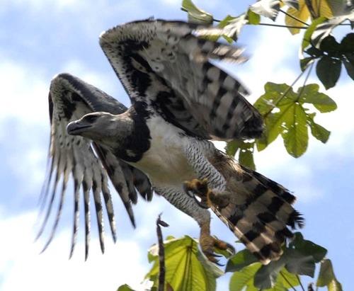 Eagle_Harpy_111022