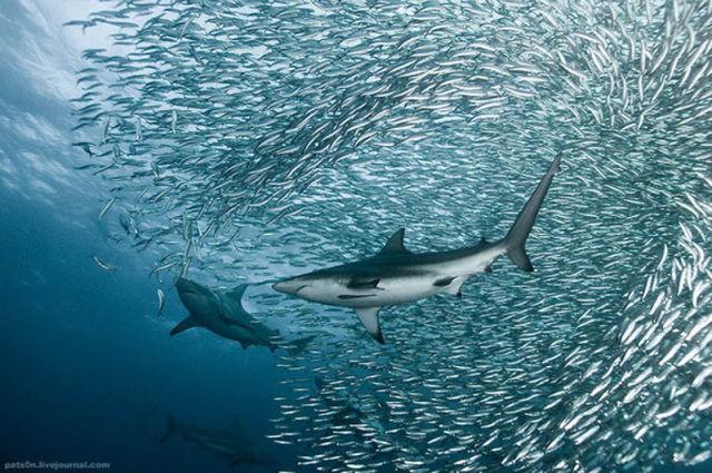 065659d0177e 何千、何億というイワシの群れを襲う海の捕食者達. タグ :: タツノオトシゴ · リーフィー ...