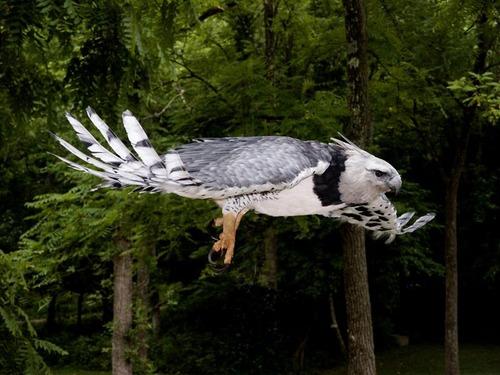 9_harpy_eagle