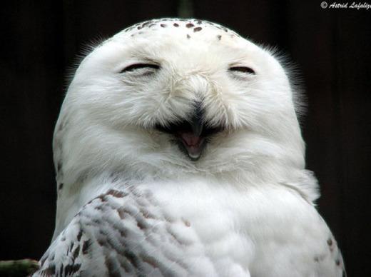 笑顔のシロフクロウ