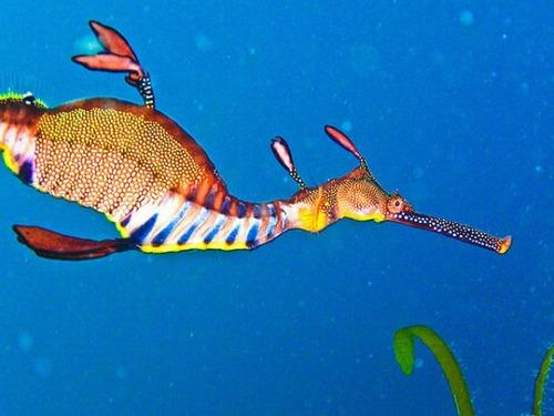 286f993ce989 これが本当に魚の仲間!? 海に住む竜『タツノオトシゴ』と『リーフィー ...