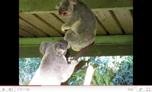 コアラの喧嘩 鳴き声