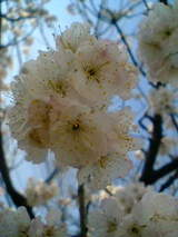 2008年3月16日の桜