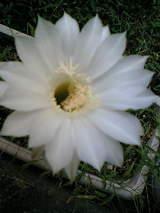 サボテンの花�