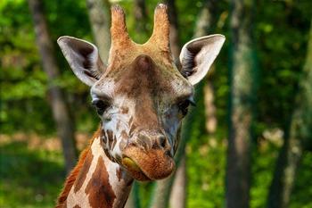 giraffe-3822686_960_720