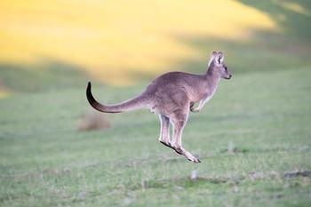 kangaroo-4316457_960_720