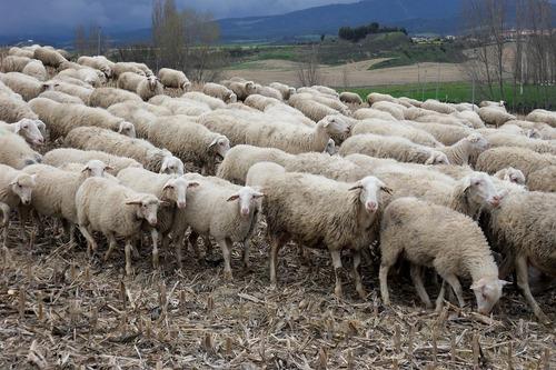 sheep-250389_960_720