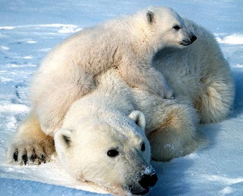 polarbearandcubscottschliebeusfws