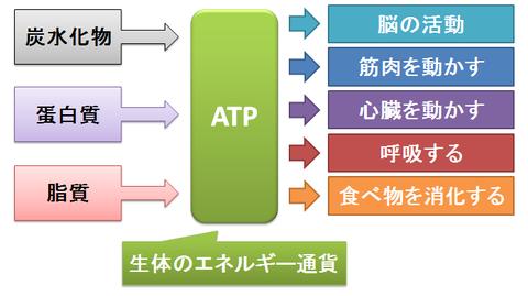 ATP~生体のエネルギー通貨