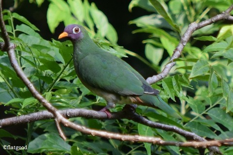 Jambu Fruit Dove 1