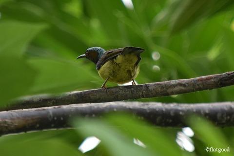 Brown-Throated Sunbird 2