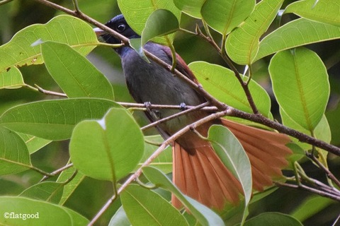 Asian Paradise Flycatcher 2