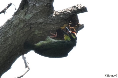 Coppersmith Barbet 4