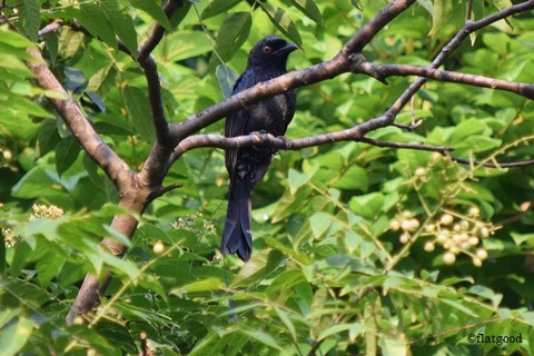 Greater Racket-tailed Drongo 1