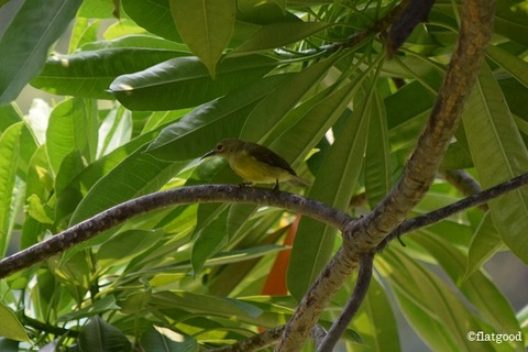 Brown-Throated Sunbird_female