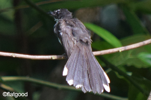 Malaysian-Pied-Fantail