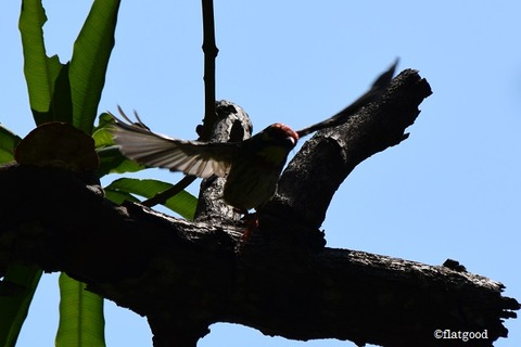 Coppersmith Barbet 3