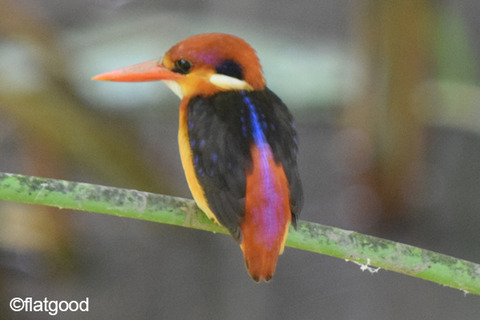 Oriental-Dwarf-Kingfisher_back