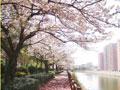 甲突川周辺の桜並木