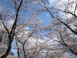 桜・2007年