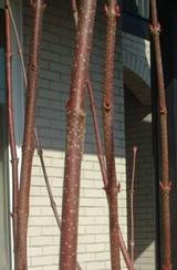 カツラの木肌