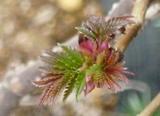 切れ込みのある葉が、風にそよぎ、夏になると、涼しさを演出してくれる木。出芽の様子は、まさに造形美。(ナチュラル&オーダーメイドの庭・外構ガーデンハーモニー)
