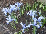 何とも言えない、淡いブルー。暑い季節に咲いてくれれば、涼しさを届けてくれるのに・・・(ナチュラル&オーダーメイドの庭・外構ガーデンハーモニー)
