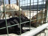 少年犬と遊んであげている2頭(ナチュラル&オーダーメイドの庭・外構ガーデンハーモニー)