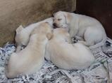 生まれてから2ヶ月半の仔犬たち(ナチュラル&オーダーメイドの庭・外構ガーデンハーモニー)