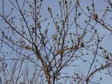 手前:待ちきれずに、出発してしまった落葉樹。 奥:数週間後の出発寸前まで、尖った新芽を固く閉じて、様子をうかがう落葉樹。(ナチュラル&オーダーメイドの庭・外構ガーデンハーモニー)