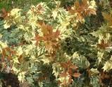 五色ヒイラギの新芽