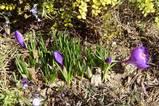 球根(紫色)