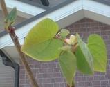 マルバノキの葉