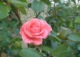 今シーンズン第1号のバラ