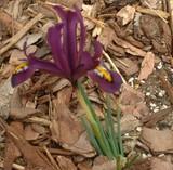 紫色のミニアイリス