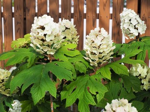 【庭木ご紹介】『ハイドランジア』で梅雨のお庭も明るく