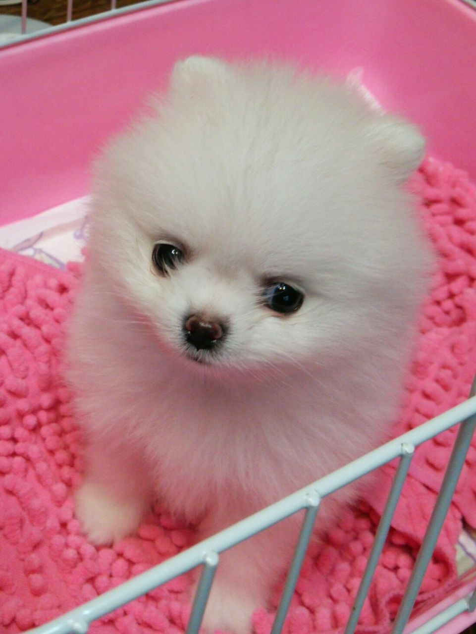 ポメラニアン 赤ちゃん かわいい