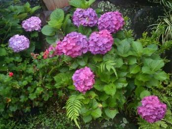 20130611紫陽花