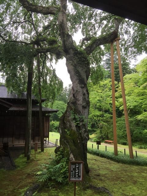 IMG_3804枝垂桜